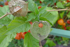Garten-Lampionblume