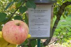 Apfel-Dülmener-Rosen